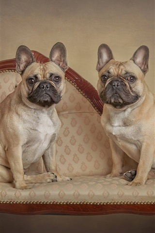 iPhone Обои Французский бульдог, две собаки стоят на стуле