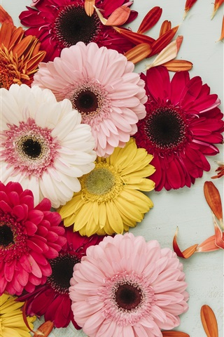 iPhone Wallpaper Gerbera, pink, red, yellow, white flowers, petals