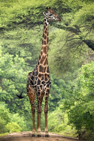 iPhone Wallpaper Giraffe, trees, Africa