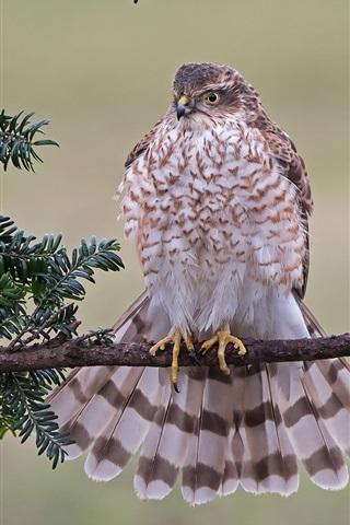 iPhone Wallpaper Hawk, sparrowhawk, feathers, tree, leaves