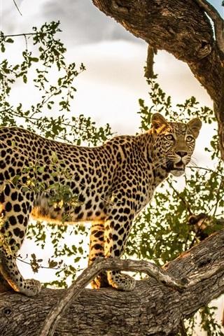 iPhone Wallpaper Leopard, predator, tree