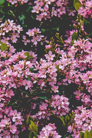 iPhone Wallpaper Many pink lilac flowers bloom, spring