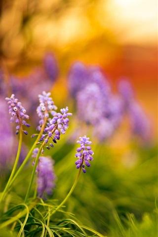 iPhone Wallpaper Purple little flowers, green grass