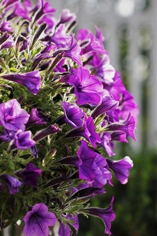 Fonds D Ecran Fleurs De Petunias Pourpres Fleurissent 750x1334