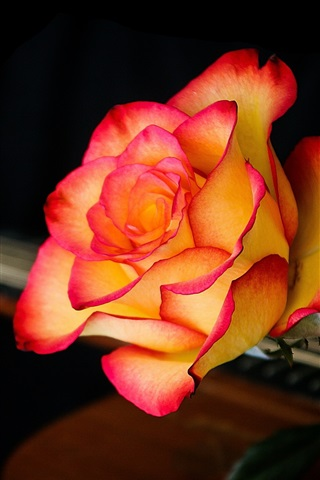 iPhone Wallpaper Red-orange rose