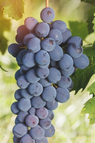 iPhone Wallpaper Ripe grapes, fruit, green leaves