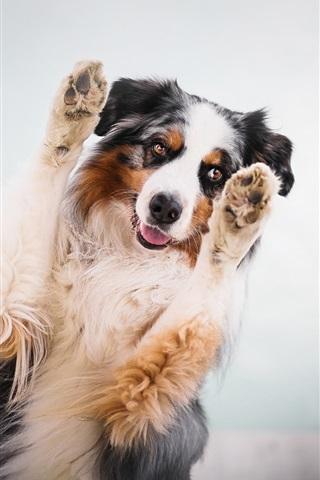 iPhone Wallpaper Australian shepherd, dog, paws