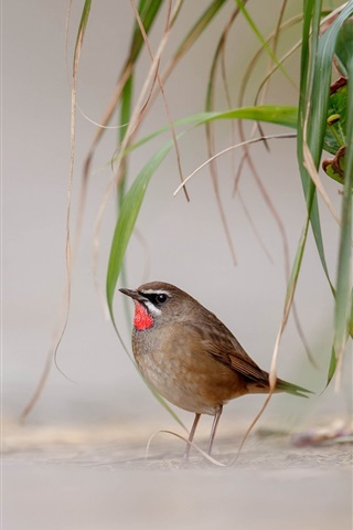 iPhone Wallpaper Bird, ground, grass