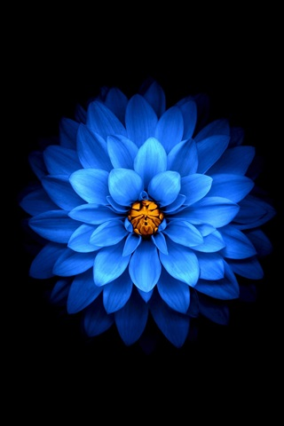 iPhone Wallpaper Blue petals flower, black background