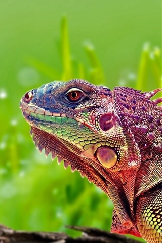 iPhone Wallpaper Colorful chameleon, reptile, green background