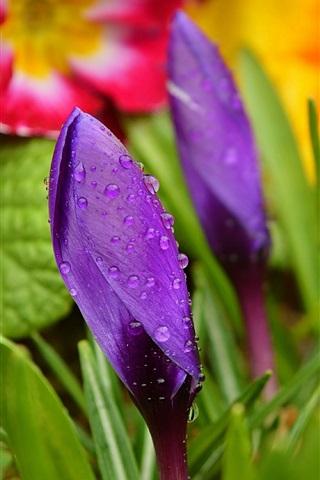 iPhone Wallpaper Crocuses, purple flower bud, water drops