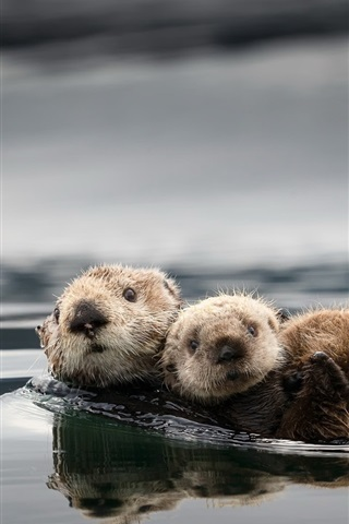 iPhone Wallpaper Cute otters, water
