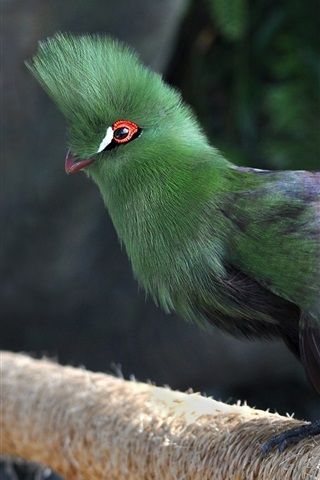 iPhone Wallpaper Dubai, common turaco, bird, green feathers