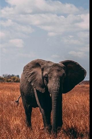 iPhone Wallpaper Elephant, proboscis, grass, autumn