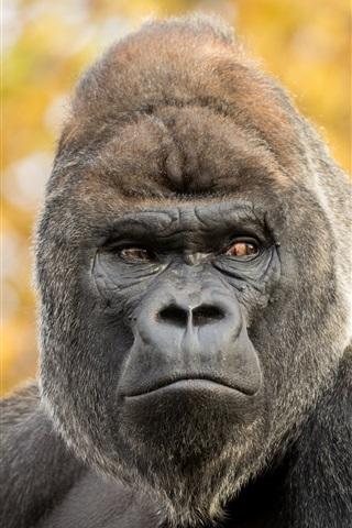 iPhone Обои Горилла, обезьяна, боке
