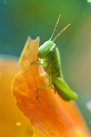 iPhone Wallpaper Grasshopper, petals