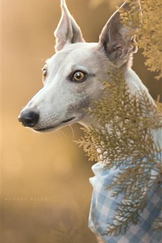 iPhone Wallpaper Italian Greyhound, dog, portrait