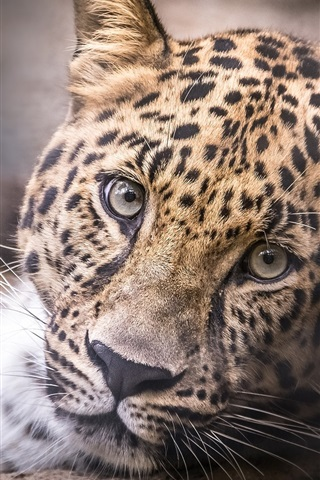 iPhone Wallpaper Leopard, head, face, portrait