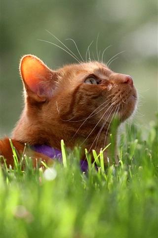 iPhone Wallpaper Orange cat, green grass, summer