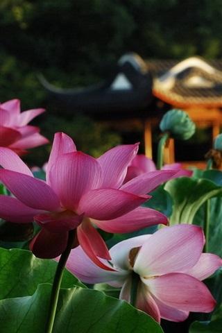 iPhone Wallpaper Park, lotus, pink flowers, green leaves