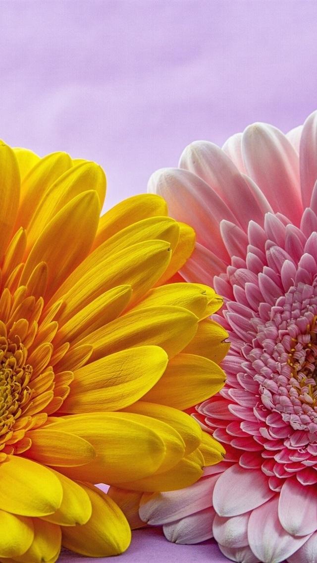 ピンクと黄色のガーベラの花 640x1136 Iphone 5 5s 5c Se 壁紙 背景 画像