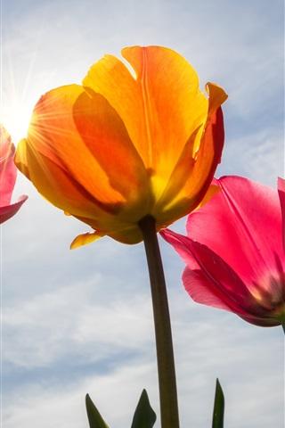 iPhone Wallpaper Pink tulips, petals, sky, sun rays