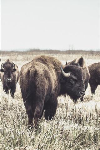 iPhone Wallpaper Some buffaloes, grass