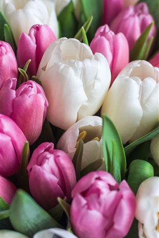 iPhone Wallpaper White and pink tulips, flowers, bouquet