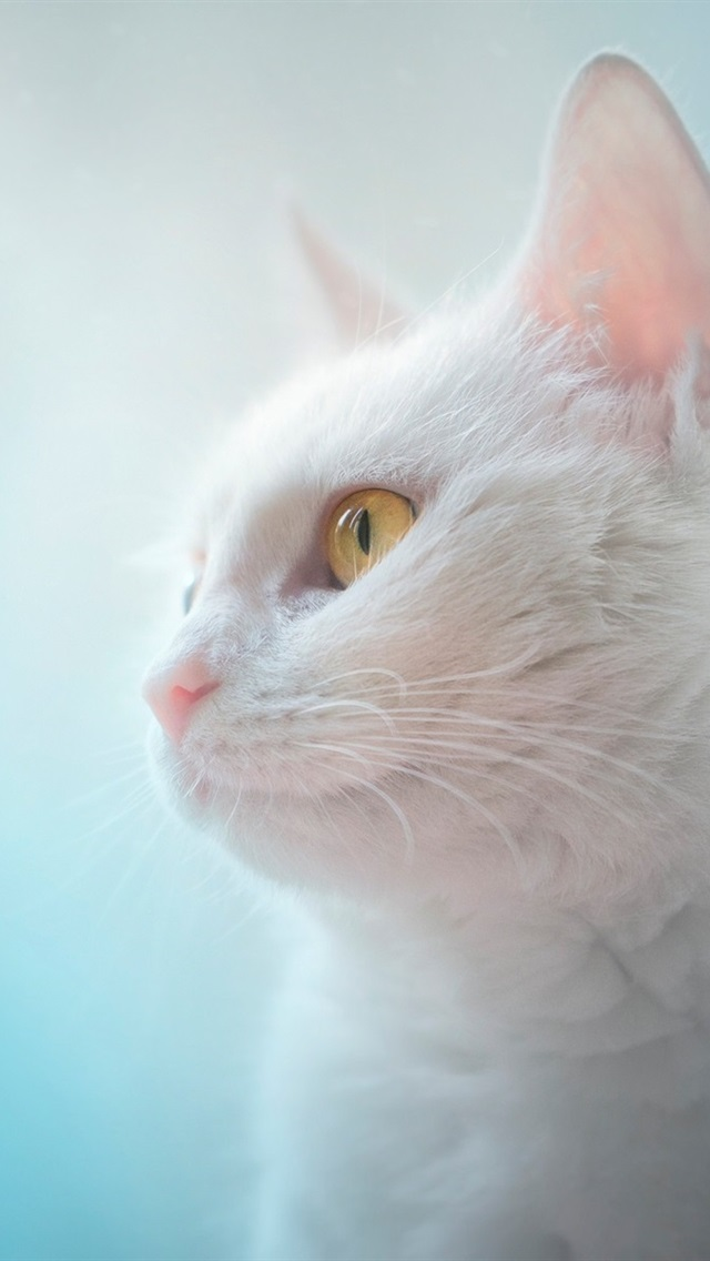 Wallpaper White Cat Yellow Eyes Blue Background 1920x1200 Hd Picture Image