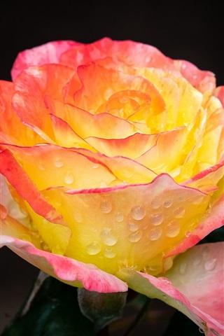 iPhone Wallpaper Yellow-pink petals roses, water drops