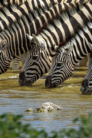 iPhone Wallpaper Zebra drink water