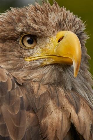 iPhone Wallpaper Bird, eagle, beak, predator