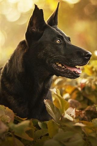 iPhone Wallpaper Black dog, face, leaves, bokeh