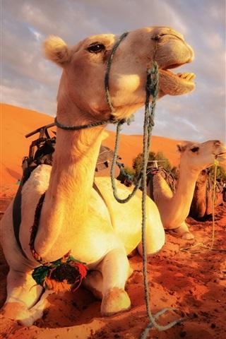 iPhone Papéis de Parede Camelos descanso deserto