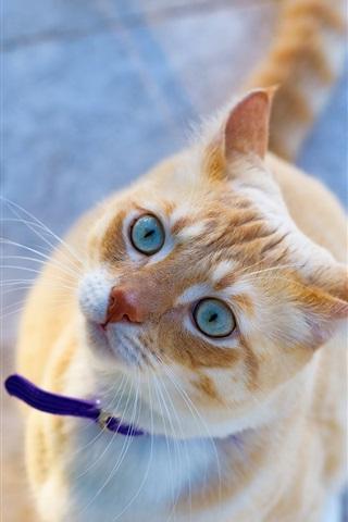 iPhone Wallpaper Cat look up, blue eyes, cute pet