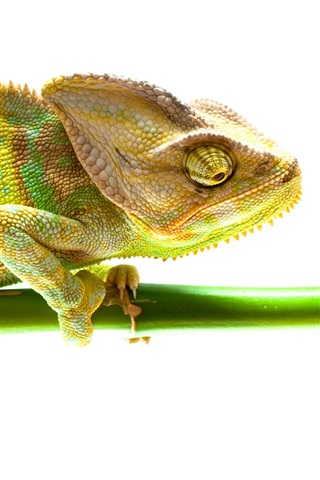 iPhone Wallpaper Chameleon, bamboo, white background