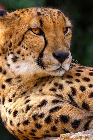 iPhone Wallpaper Cheetah, rest, look back, wild cat