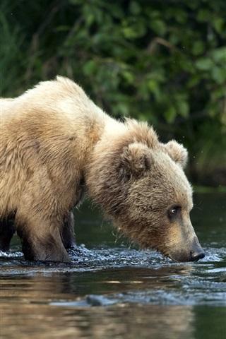 iPhone Wallpaper Cute bear cub, wet, water