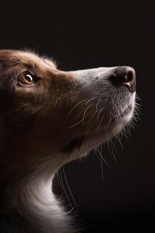 Dog Look Up Black Background 640x1136 Iphone 5 5s 5c Se Wallpaper