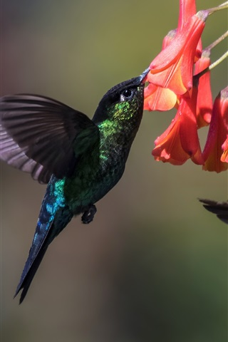 iPhone Wallpaper Hummingbird, two birds, flight, wings, flowers