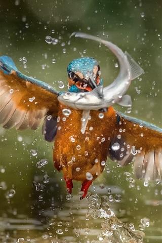 iPhone Wallpaper Kingfisher catch a fish, wings, water splash