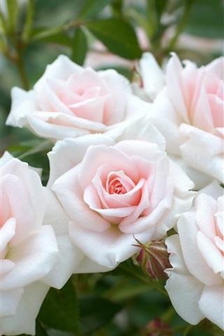 Light Pink Roses Garden Flowers 750x1334 Iphone 8 7 6 6s Wallpaper
