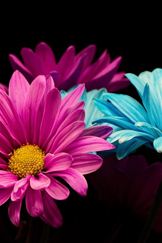 iPhone Wallpaper Pink and blue petals daisy, black background