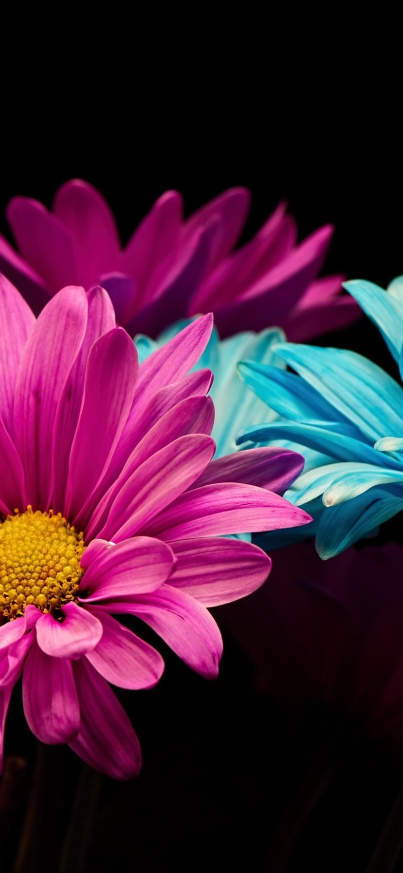 Wallpaper Pink And Blue Petals Daisy Black Background