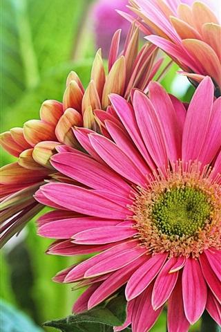 iPhone Wallpaper Pink gerbera flowers, green leaves