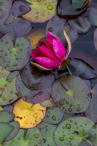 iPhone Wallpaper Pink water lily, flowers, leaves, water drops, after rain