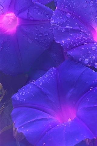 iPhone Wallpaper Purple morning glory, flowers, water drops