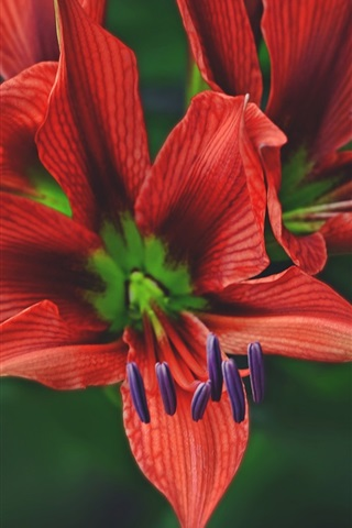 iPhone Wallpaper Red petals lily, flower macro photography