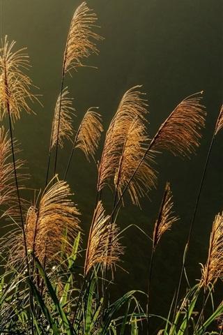 iPhone Wallpaper Reeds, spikelets, plants