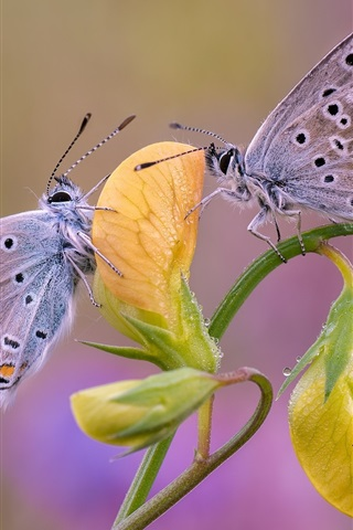 iPhone Wallpaper Two butterflies, yellow flower